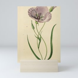 Flower 1676 calochortus splendens Satiny Calochortus18 Mini Art Print