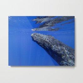 Underwater Humpbacks 13 Metal Print