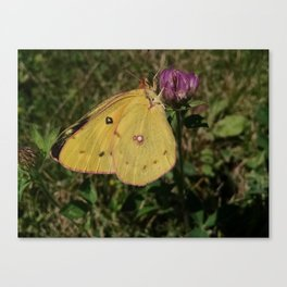 Sulphur Butterfly on Red Clover Canvas Print