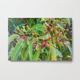 Flowering Gum 0. The Bud Cluster. Australia. Metal Print