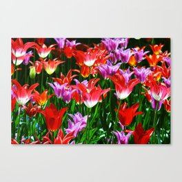 Beautiful triumph tulips of different colors with green leaves Canvas Print