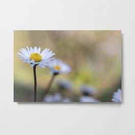 Delicate daisy flowers Metal Print