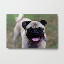 Spencer the Pug Metal Print