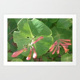 Honeysuckle Vine Art Print
