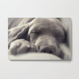 Sleeping dog (Weimaraner) Metal Print
