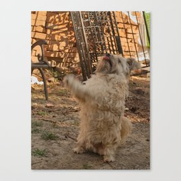 Romanian Works 13 Begging Dog Canvas Print