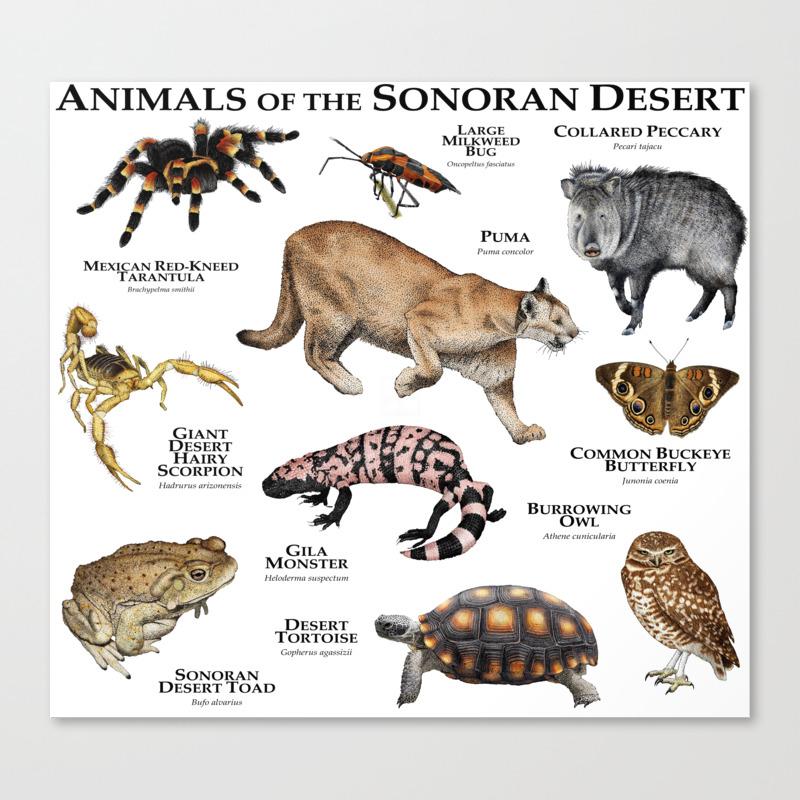 Animals Of The Sonoran Desert Canvas Print By Wildlife Art Society6