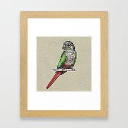 Green-cheeked conure Framed Art Print