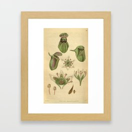 Cephalotus follicularis Framed Art Print