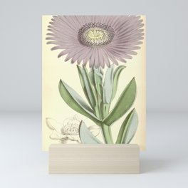 Flower 5539 mesembryanthemum acinaciforme Scimitar leaved Fig Marigold1 Mini Art Print