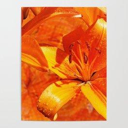 Morning Dew on Orange Lilies Poster