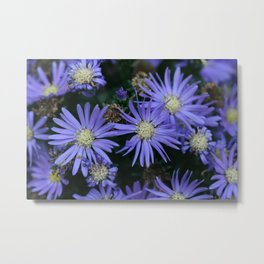 Purple Aster Flowers at Different Stages (Photography: Vibrant Flowers) Metal Print