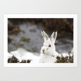 white mountain hare Art Print