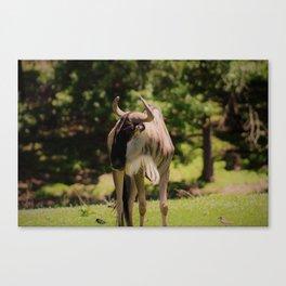 Gazing Wildebeest Canvas Print
