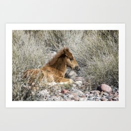 Salt River Colt Taking a Rest Art Print