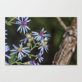 Blue wood aster flowers Canvas Print