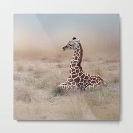 Young Giraffe resting in the grassland Metal Print