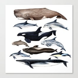 Atlantic whales, dolphins and orca Canvas Print