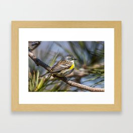 Yellow Rumped Warbler in May Framed Art Print