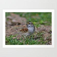 A White Throated Sparrow Art Print