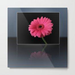 Pink Gerbera Reflected Metal Print