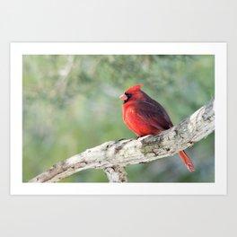 Serene Cardinal Art Print