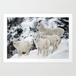 Dall Sheep Family Art Print