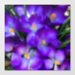 Crocus in the Early Morning Haze Canvas Print