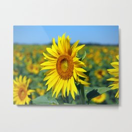 Summer Sunflowers Metal Print