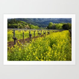 Yellow Mustard Blooming Between Rows of old Grapevines Art Print