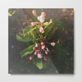 Appletree Blossom Metal Print