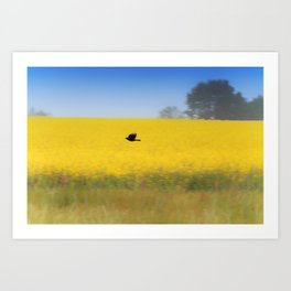 Blackbird over the canola field Art Print