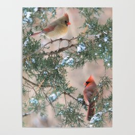 Winter Pair Cardinals (v) Poster