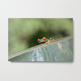 Red eye Frog on leaf Costa Rica Photography Metal Print