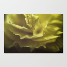 close-up of an aged yellow begonia, abstract yellow waves  Canvas Print
