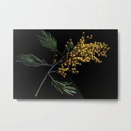 Silver Wattle Flowers Metal Print