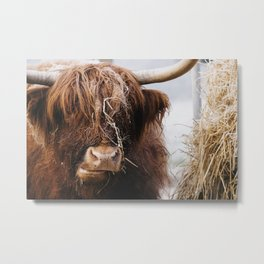 Highland cow feeding on straw on a frosty winters morning. Norfolk, UK. Metal Print