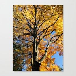 October Sugar Maple Canvas Print