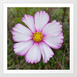 Winter Cosmos Flower in Pink 7 Art Print