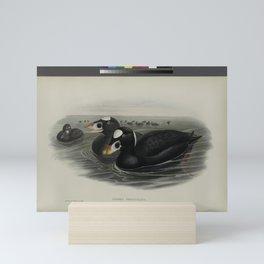 326 Oidemia perspicillata. Surf Scoter Mini Art Print