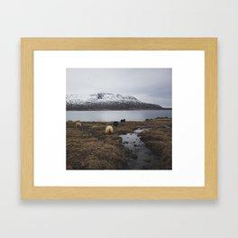 Sheep in Iceland Framed Art Print