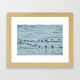 Oystercatchers in Flight. Framed Art Print