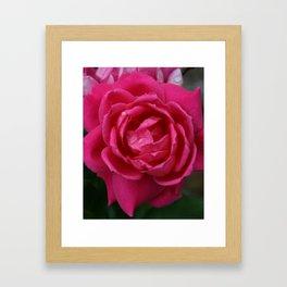 Roses in Rain Framed Art Print