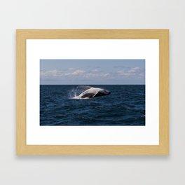 Humpback Whale Breaching Framed Art Print
