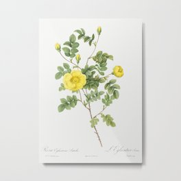 Sweetbriar Rose also known as Eglantine Rose (Rosa eglanteria luteola) from Les Roses (1817-1824) by Metal Print