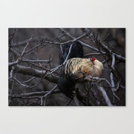 Sleeping Rooster Canvas Print