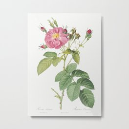 Harsh Downy Rose, also known as Cotton Rose (Rosa tomentosa) from Les Roses (1817–1824) by Pierre-Jo Metal Print