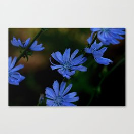 Eyes as blue as chicory blooms Canvas Print