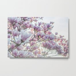Magnólias rosa florescendo na primavera!! Metal Print