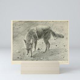 Vintage Animal Print - 1902 - Coyote (Canis latrans) Mini Art Print
